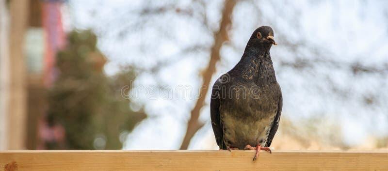 Colomba, piccione che sta sulla superficie di legno Copyspace, insegna, ha offuscato il fondo, fine sulla vista fotografie stock libere da diritti