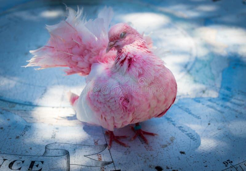 Colomba rosa dell'uccello fotografia stock