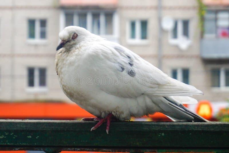 Colombe blanche seule sur le balcon photo libre de droits
