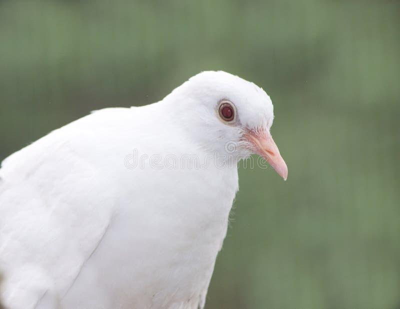 Colombe de Barbarie albinos photo stock