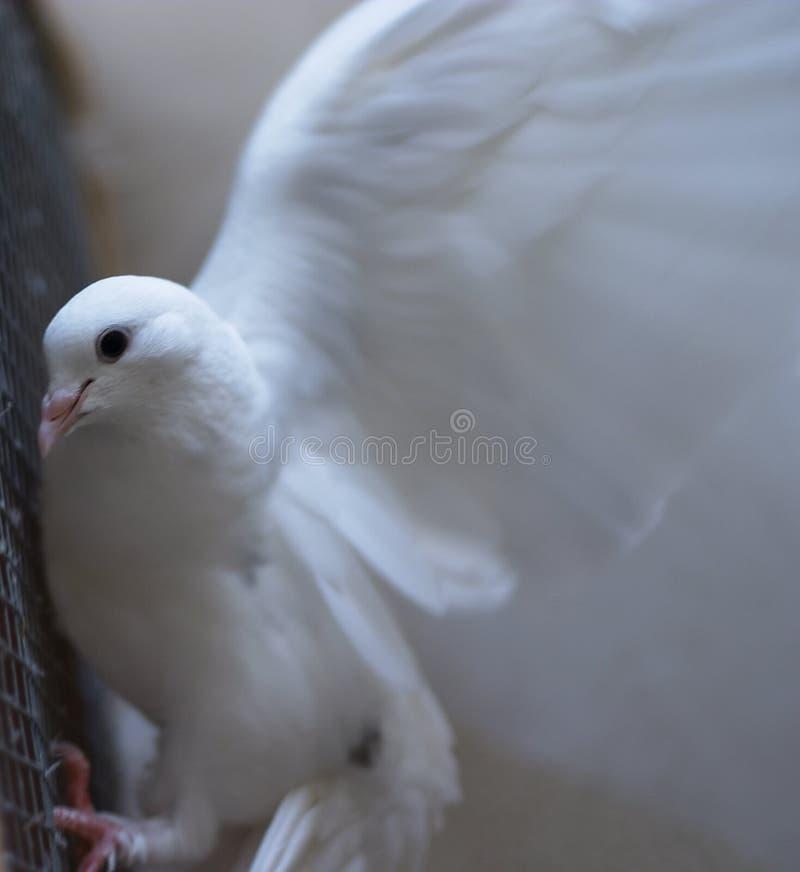 Colombe de blanc - paix photo stock