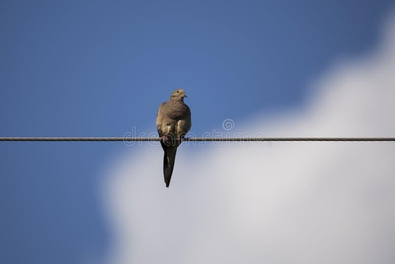 Colombe de deuil étée perché sur le fil dans la lumière tachetée contre les nuages et le ciel mous de foyer photos stock