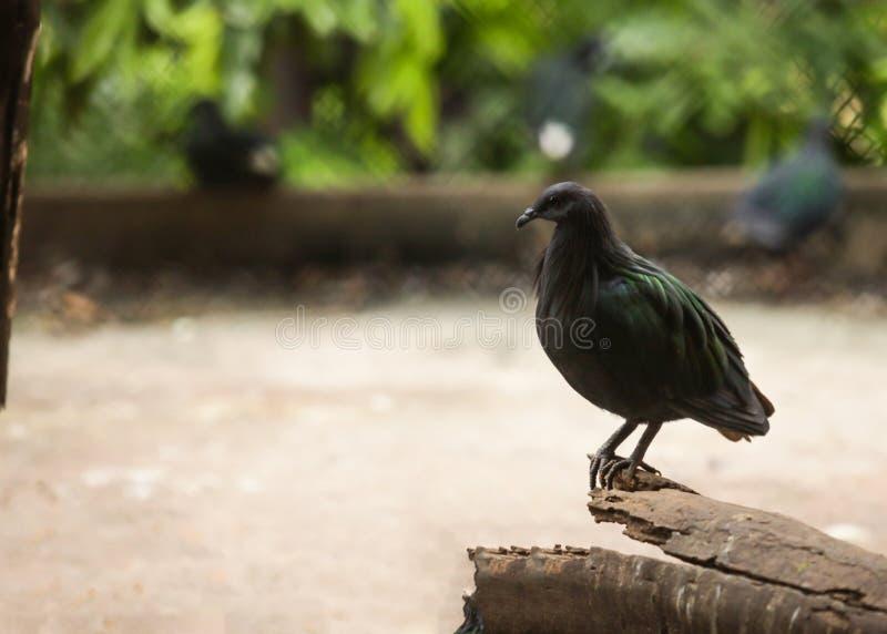 Colombe de Nicobar de pigeon de Nicobar, grand pigeon trouvé sur de petites îles et régions côtières, le parent vivant le plus ét image stock