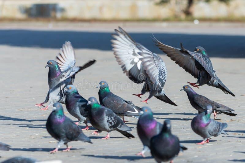 Colombe de pigeon dans les oiseaux urbains de rues de ville pilotant les ailes se reposantes de plumes de faune photos libres de droits