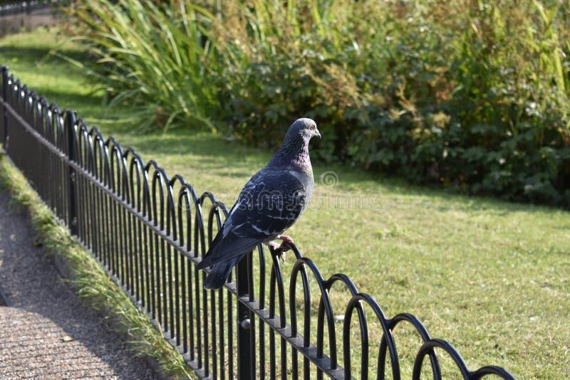 Colombe de roche - pigeon de roche - nature image stock