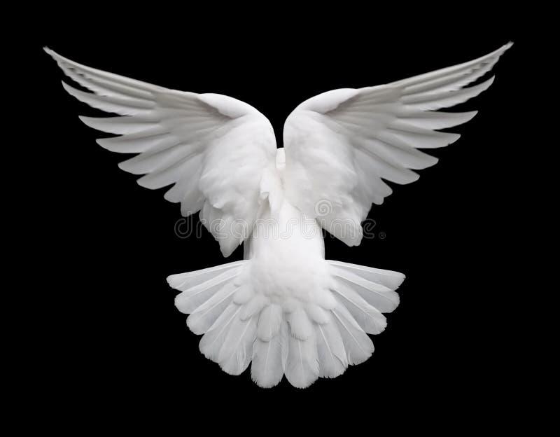 Colombe en vol 2 de blanc photo libre de droits