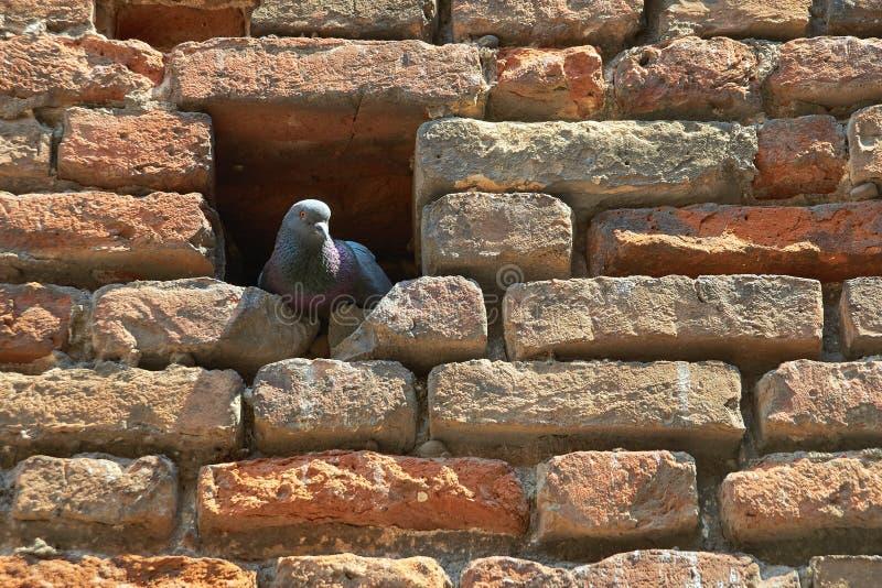 Colombe se reposant dans un créneau dans le mur de briques photos stock