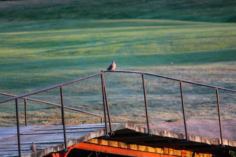 Colombe seule sur le pont au crépuscule photo stock