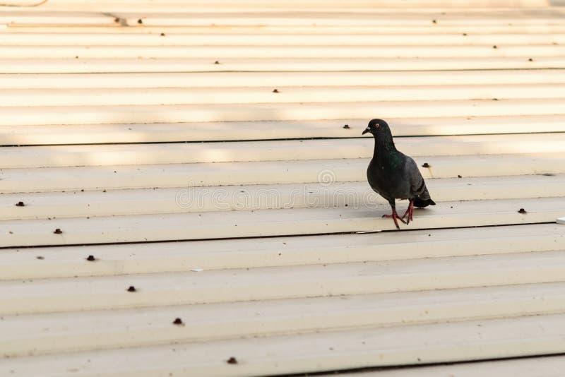 Colombe sur le toit de garage photographie stock libre de droits
