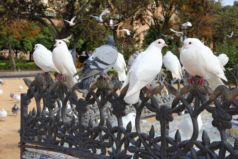 Colombe urbane in Siviglia fotografia stock