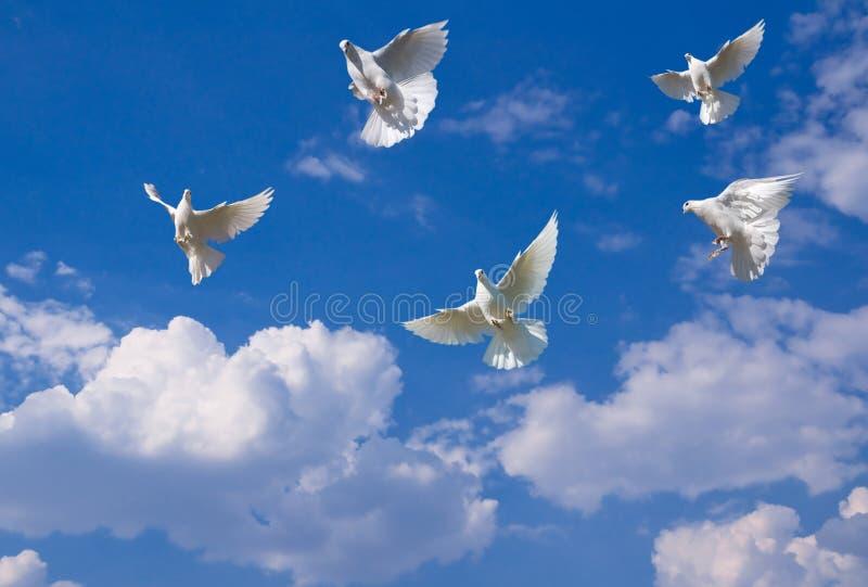 Colombes blanches image libre de droits