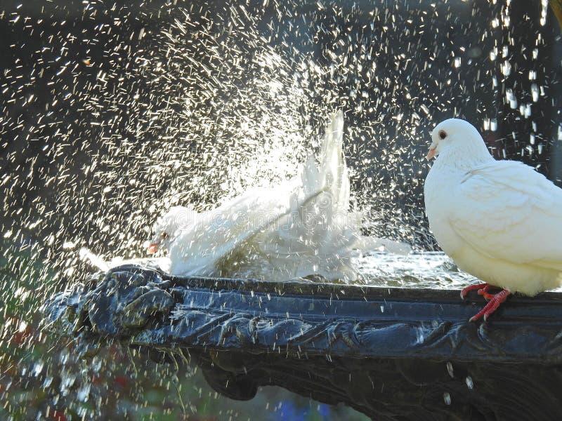 Colombes dans la fontaine ayant le bain d'oiseau image libre de droits