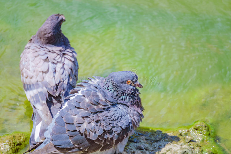 Colombes se baignant dans le lac photographie stock libre de droits
