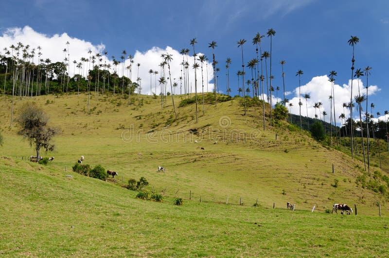Colombia Waxpalmträd av den Cocora dalen arkivfoto