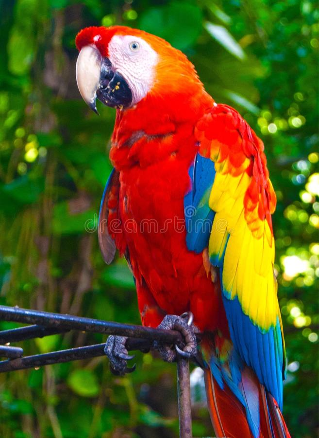Colombian macaw royalty free stock photography