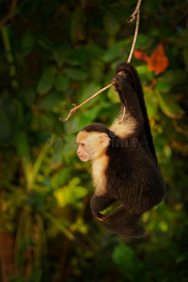 Colombian white-faced capuchin Cebus capucinus, Colombian white-headed capuchin or Colombian white-throated capuchin, New World royalty free stock image