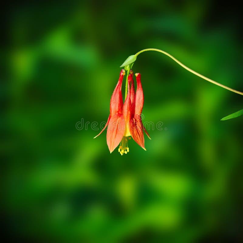Colombina selvaggia di colombina rossa orientale, canadensis di Aquilegia, wildflower del Minnesota fotografia stock libera da diritti