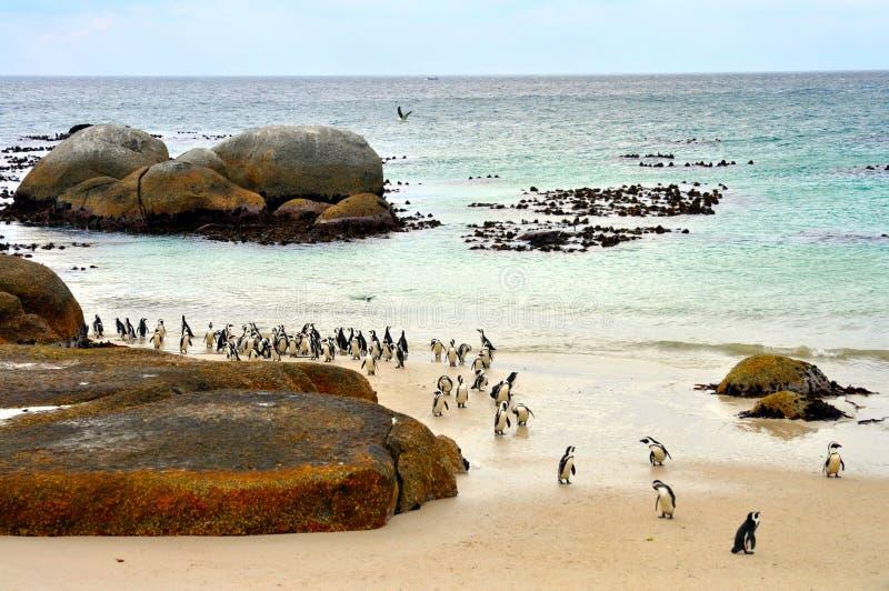 Colonia africana dei pinguini alla spiaggia dei massi immagini stock libere da diritti