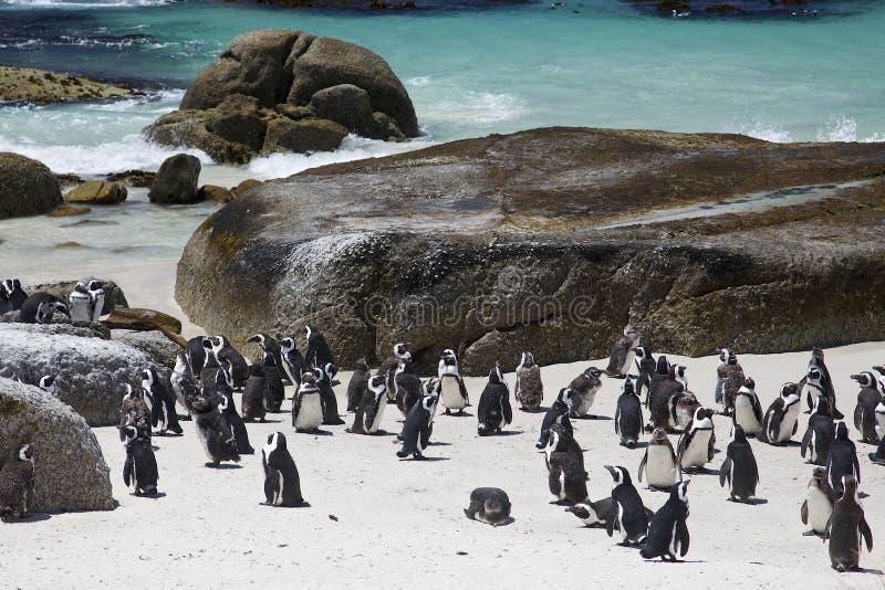 Colonia africana del pingüino de zopenco por la playa fotos de archivo