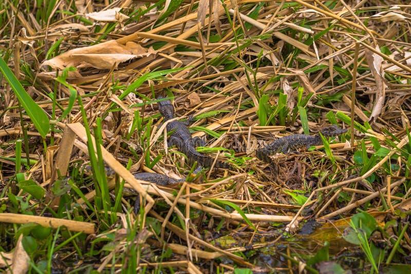 Colonia Carlos Pellegrini - 28 juin 2017 : Bébés foncés d'alligator au parc provincial d'Ibera chez Colonia Carlos Pellegrini, image stock
