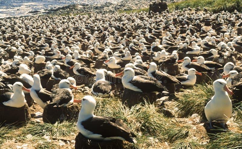Colonia cejuda negra del albatros, Islas Malvinas fotos de archivo