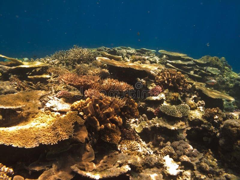 Colonia coralina en el gran filón de barrera Australia imagenes de archivo