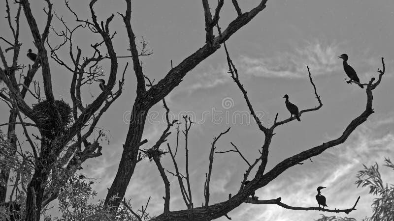 Colonia de cormoranes foto de archivo libre de regalías
