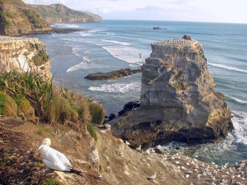 Colonia de Gannet en la costa oeste de Nueva Zelanda. fotografía de archivo libre de regalías