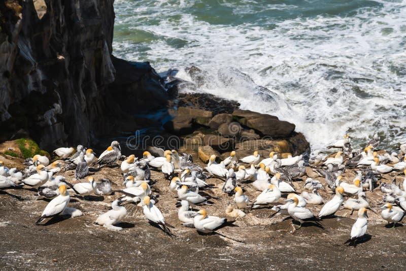 Colonia de Gannet en la playa de Muriwai, Nueva Zelanda imagenes de archivo