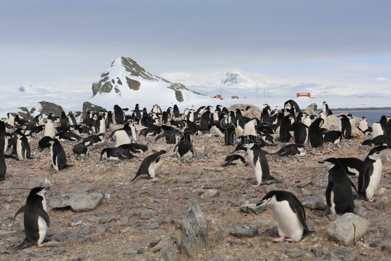 Colonia de grajos del pingüino de Chinstrap en la Antártida imagen de archivo libre de regalías
