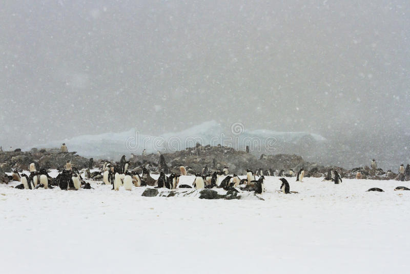 Colonia de grajos del pingüino Nevado Gentoo fotografía de archivo libre de regalías