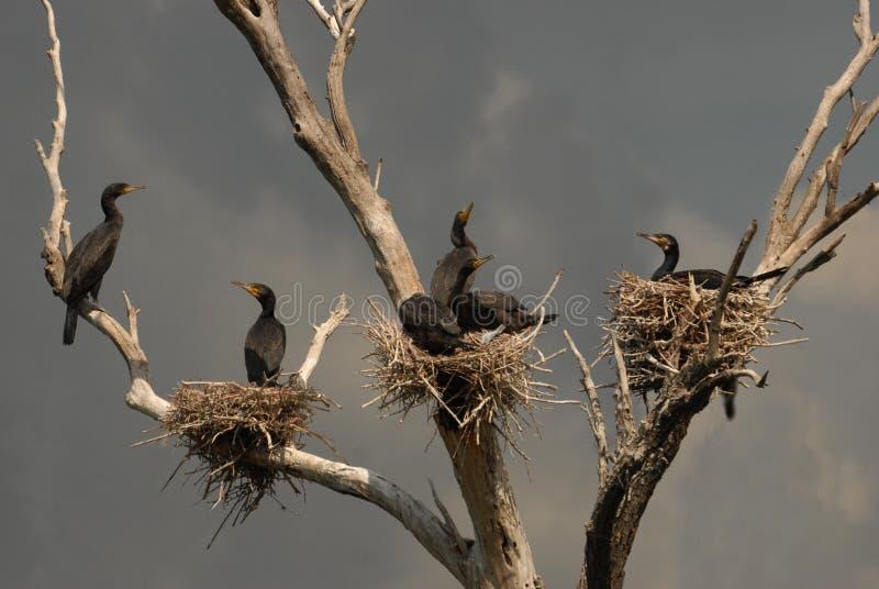 Colonia de grandes cormoranes foto de archivo