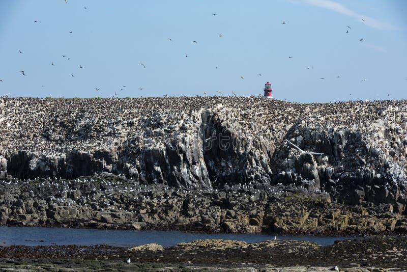 Colonia de la cría del verano de frailecillos, de golondrinas de mar de Atrctic, de cormoranes y de Shangs imagenes de archivo