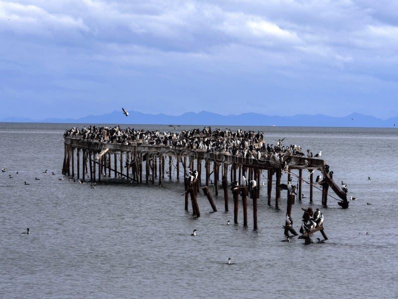 Colonia de la pelusa imperial, atriceps del Phalacrocorax, en la costa de Punta Arenas, Patagonia, Chile imágenes de archivo libres de regalías