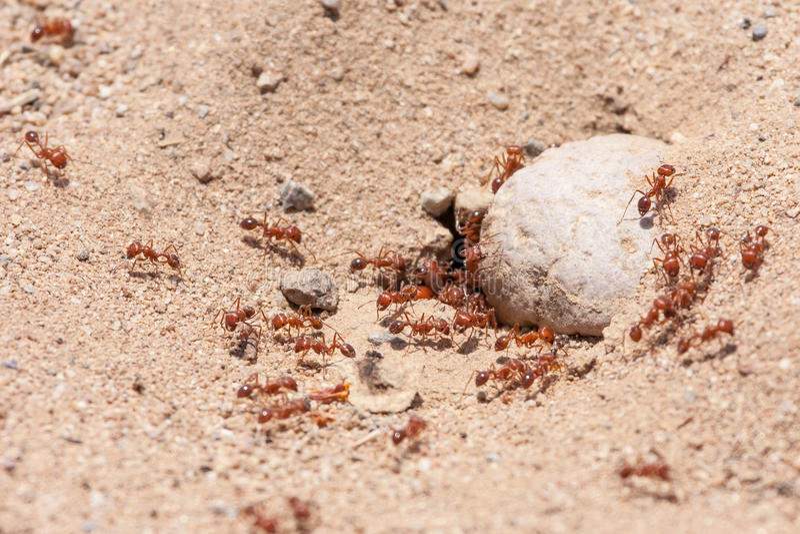 Colonia de las hormigas de fuego en el parque del desierto de la costa de Laguna imagen de archivo libre de regalías