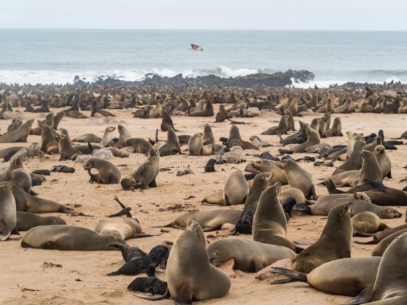 Colonia de lobos marinos en Namibia fotografía de archivo libre de regalías