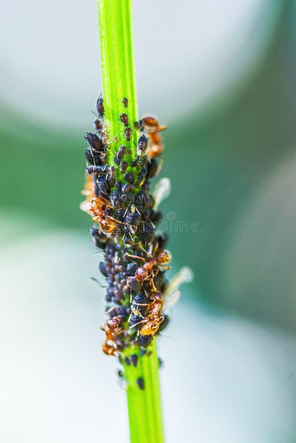 Colonia de los áfidos de la manada de las hormigas fotografía de archivo libre de regalías