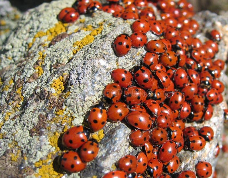 Colonia de los Lady-bugs foto de archivo