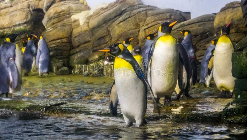 Colonia de pingüinos de rey junto en el lado del agua, gran especie del pingüino de la Antártida fotos de archivo