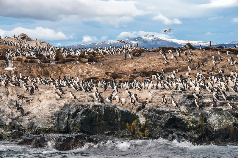 Colonia de rey Cormorant, canal del beagle, la Argentina - Chile foto de archivo