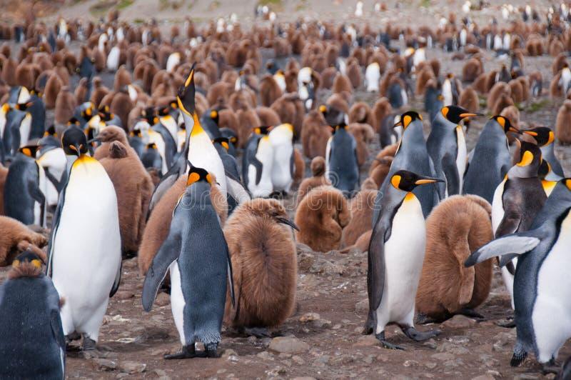 Colonia de rey pingüino imágenes de archivo libres de regalías