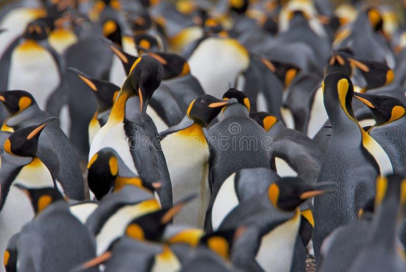 Colonia de rey pingüinos imagenes de archivo