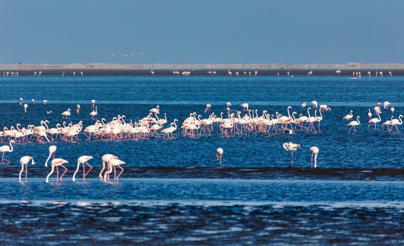 Colonia de Rosy Flamingo en la bahía fauna de Namibia, África de Walvis foto de archivo libre de regalías