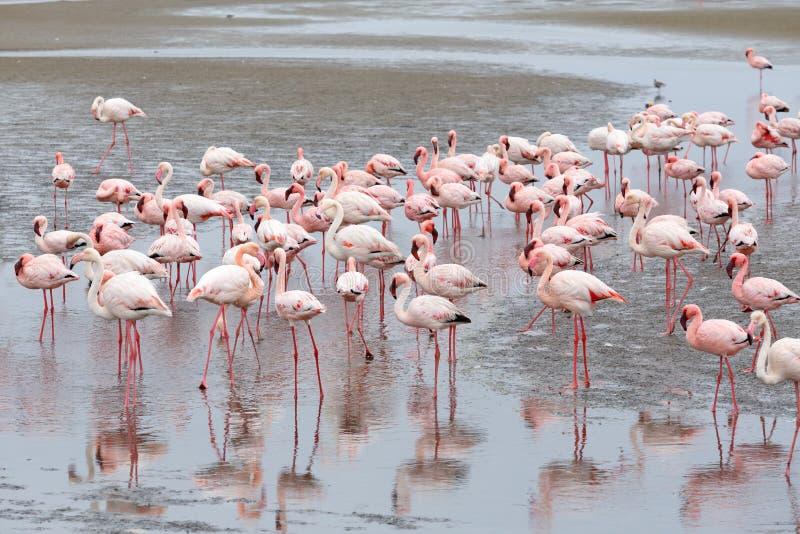 Colonia de Rosy Flamingo en la bahía Namibia de Walvis fotos de archivo libres de regalías