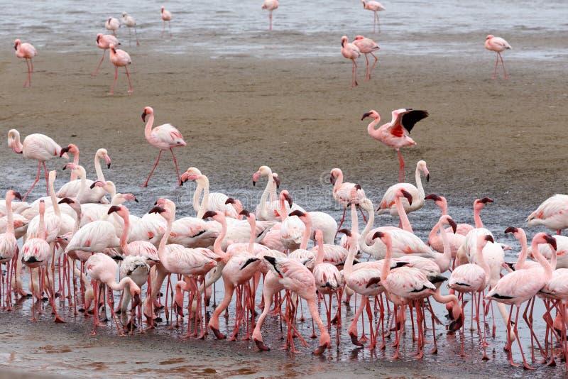 Colonia de Rosy Flamingo en la bahía Namibia de Walvis imagen de archivo