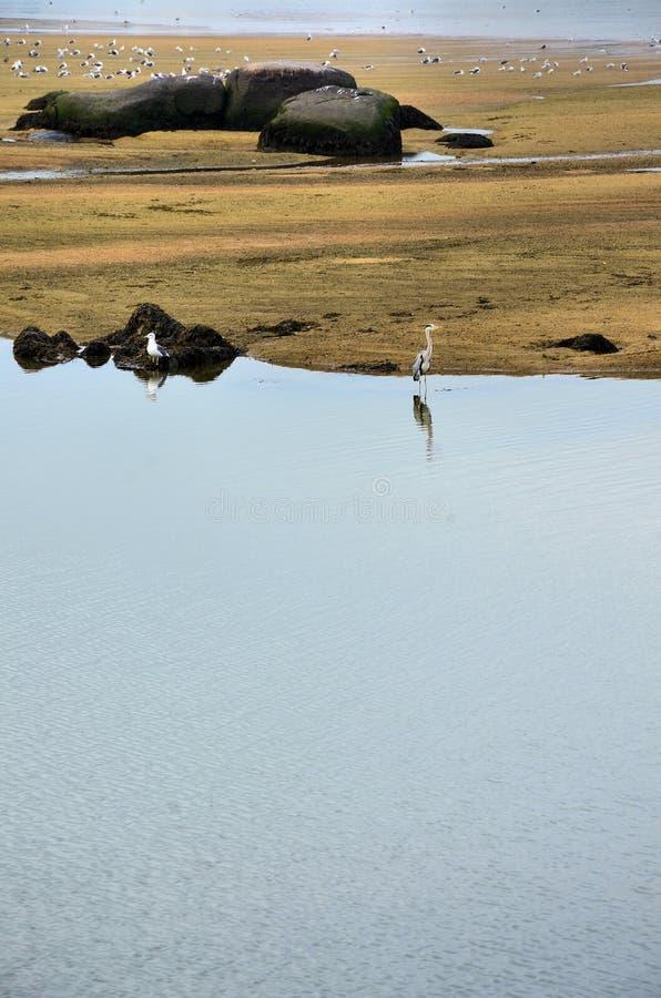 Colonia degli uccelli e un airone grigio fotografia stock