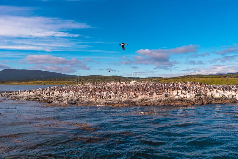 Colonia dei cormorani di re al Manica del cane da lepre, Patagonia immagini stock