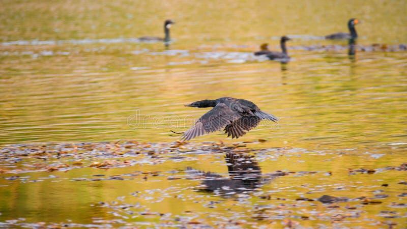 Colonia dei cormorani di re al Manica del cane da lepre, Patagonia, Tierra d fotografia stock