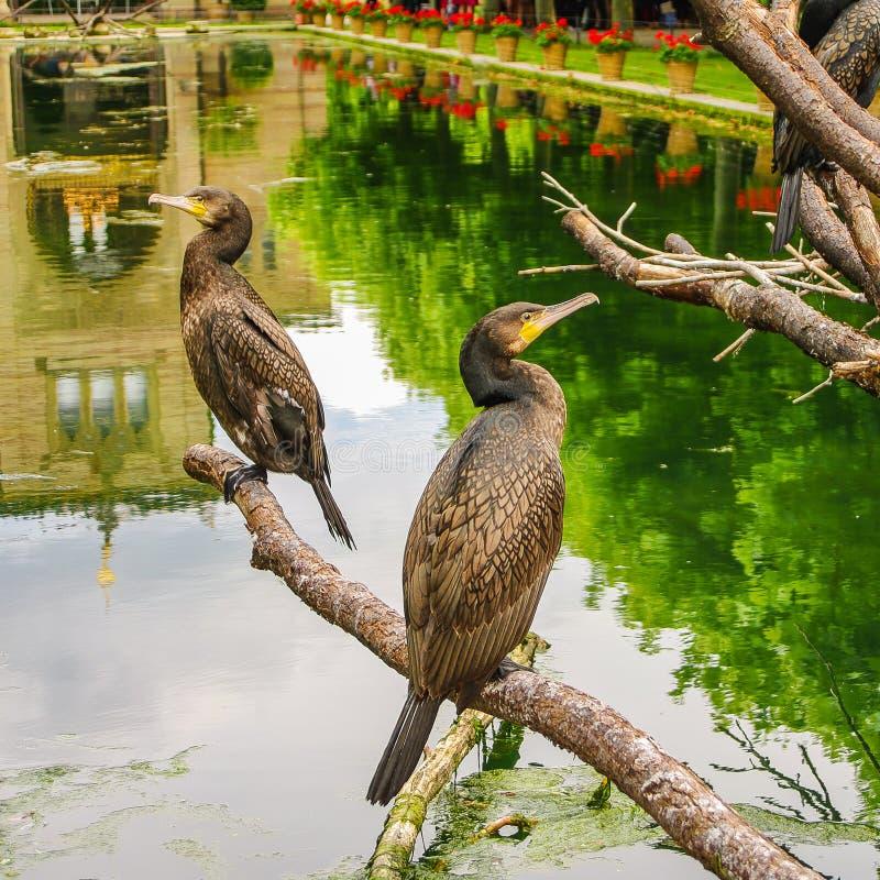 Colonia dei cormorani di re che si siedono davanti ad un giardino del castello fotografia stock