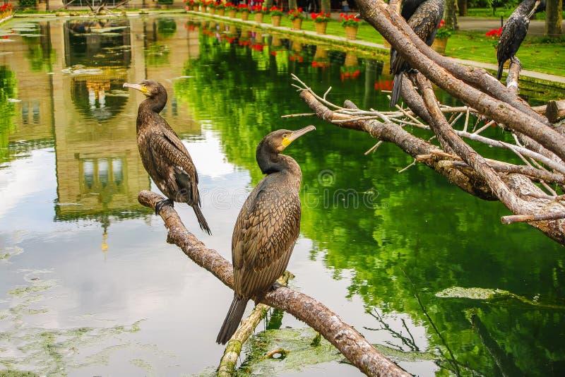 Colonia dei cormorani di re che si siedono davanti ad un giardino del castello fotografie stock libere da diritti